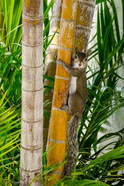 Squirrel hugging the palm tree