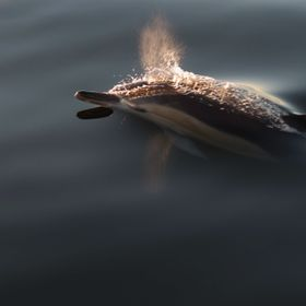 A dolphin reaches the surface of a flat calm ocean, and exhales a fine mist of vapour.