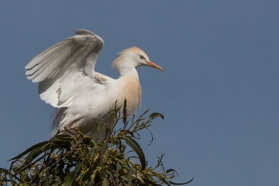 Cattle Egret ready for departure