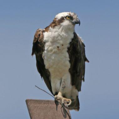 Osprey IMG_8294