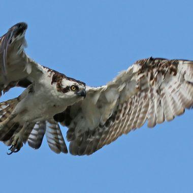 Osprey IMG_8353
