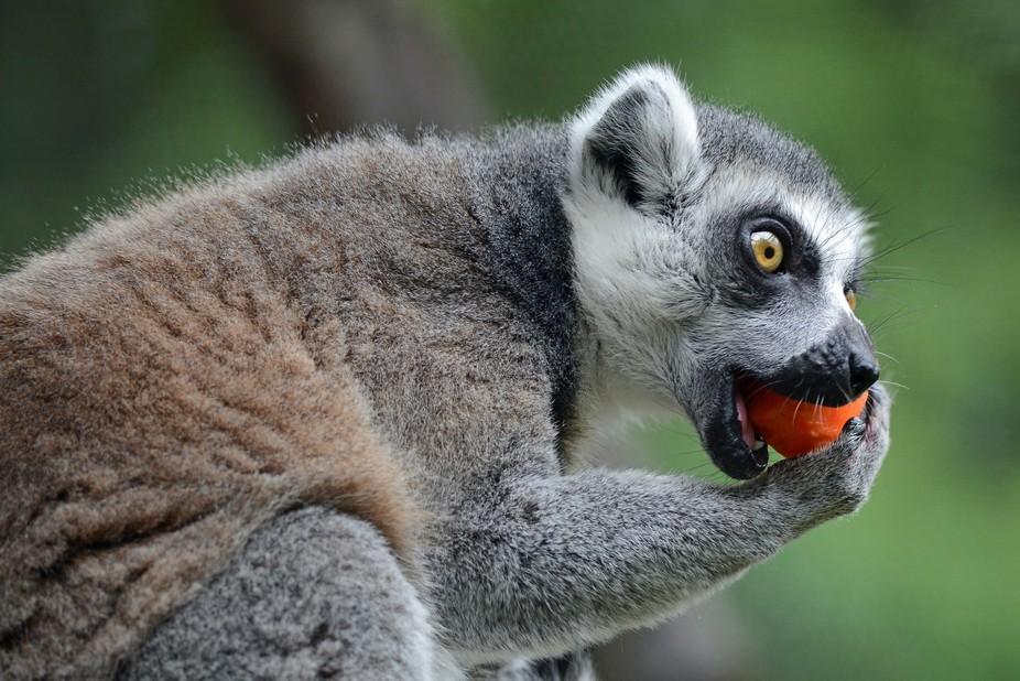 Ring-tailed lemur tucks into papaya (I think) at ZSL London Zoo, July 22 2017. Lens: Nikkor 300mm f4