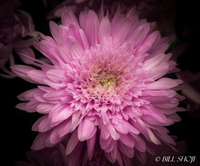 """Purple Light"" Chrysanthemum"