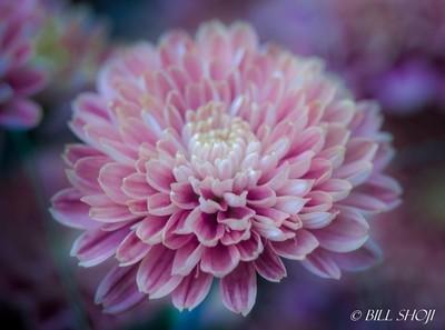 """""""Amiko Bronze"""" - Purple Yellow Chrysanthemum"""