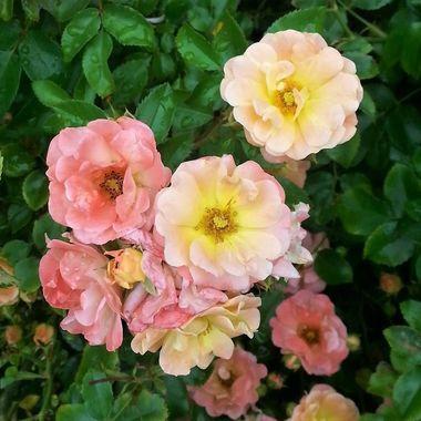 Roses from the back garden in Graham