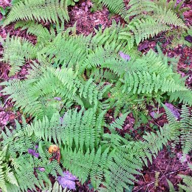Pisgah National Forest ferns