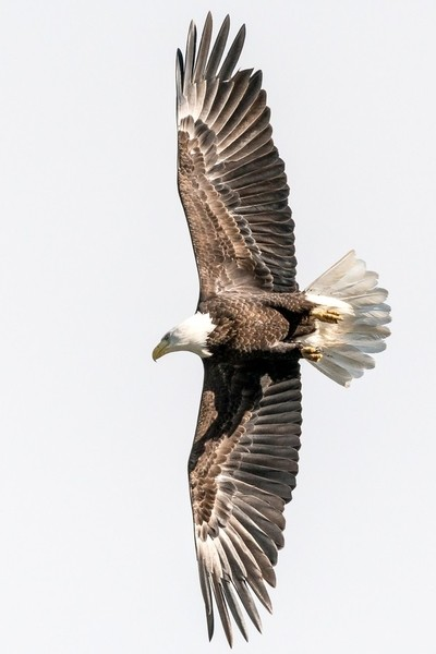 Bald Eagle, Conowingo