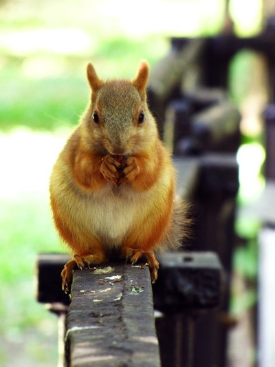 plump squirrel