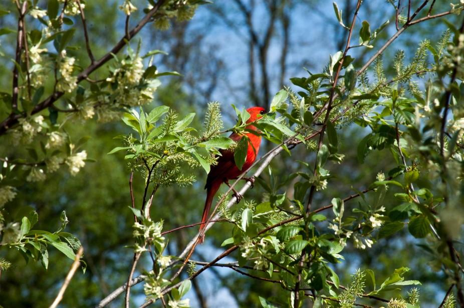 cardinal behind leaves