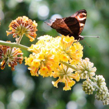 Peacock Butterfly on flower