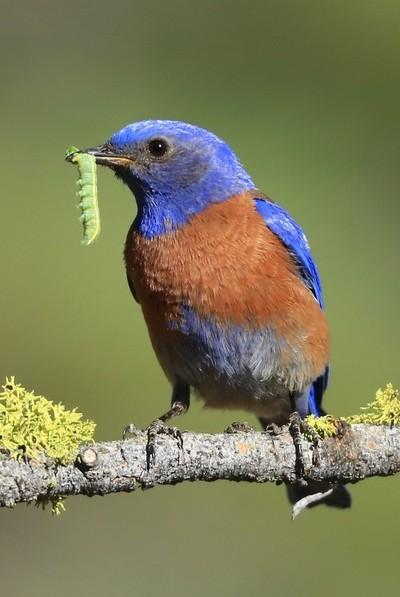 Male Western Bluebird with Green Worm