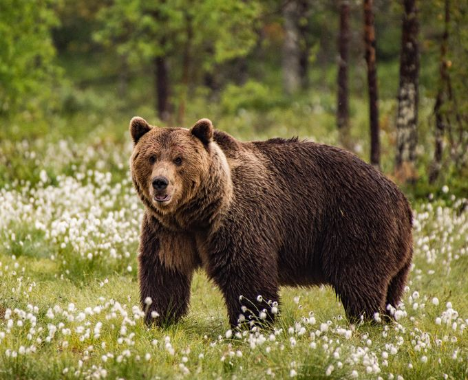 finland brown bear by Niqueki - Bears Photo Contest
