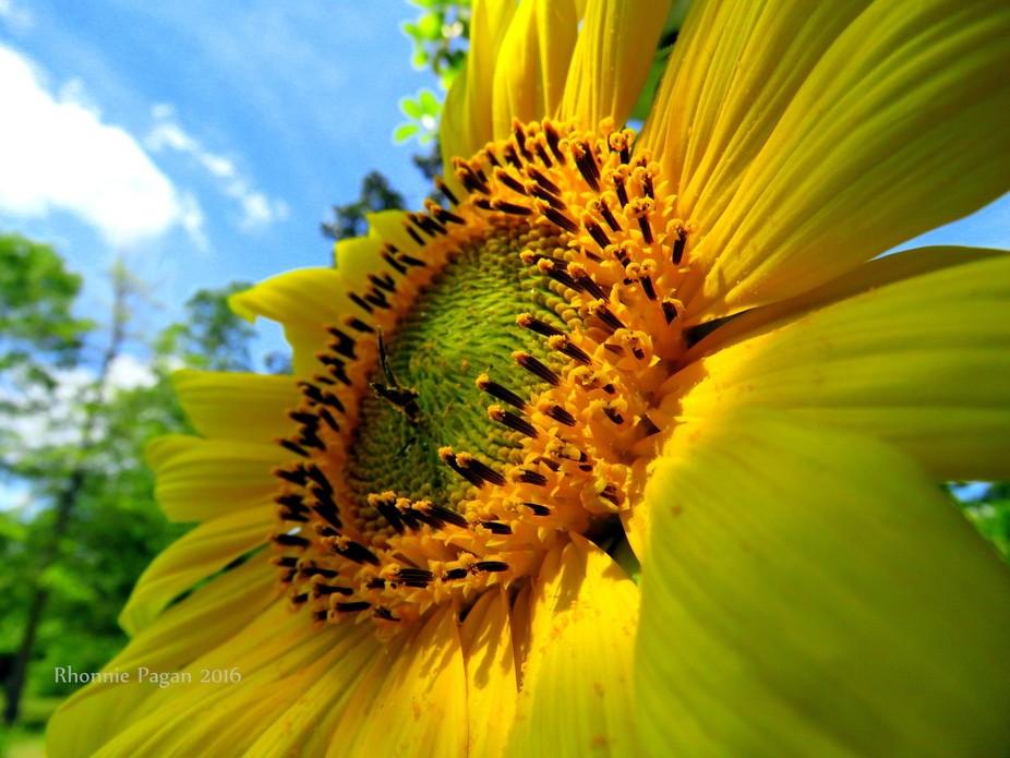 Sunflower water-marked