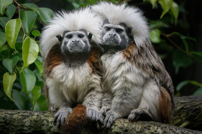 Cotton-top tamarins  by carolyns - Monkeys And Apes Photo Contest