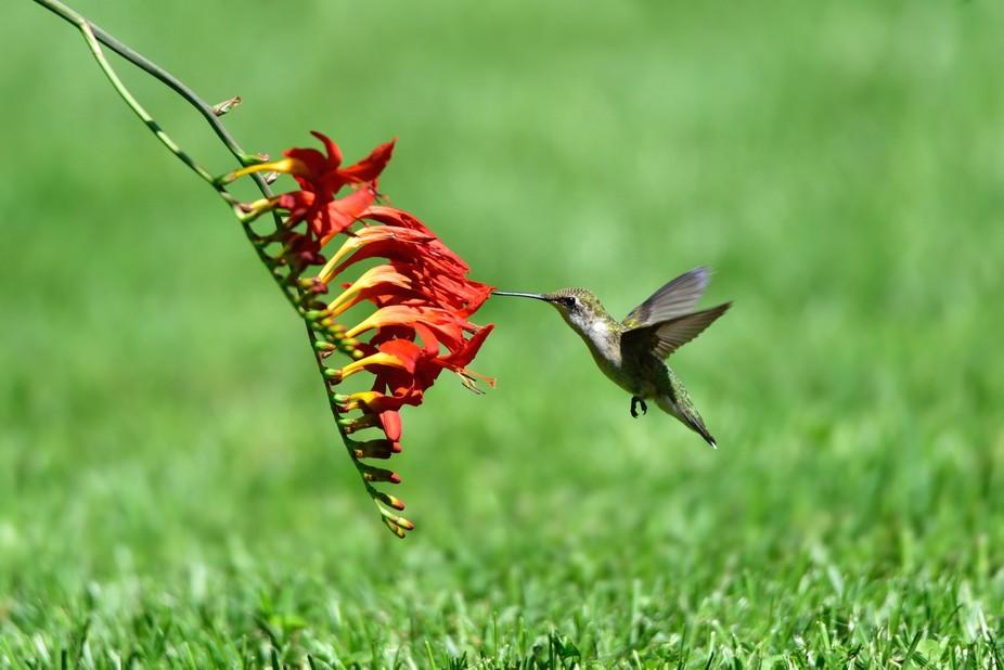 female hummingbird feeding on nectar from crocosmia flowers bent to the grass