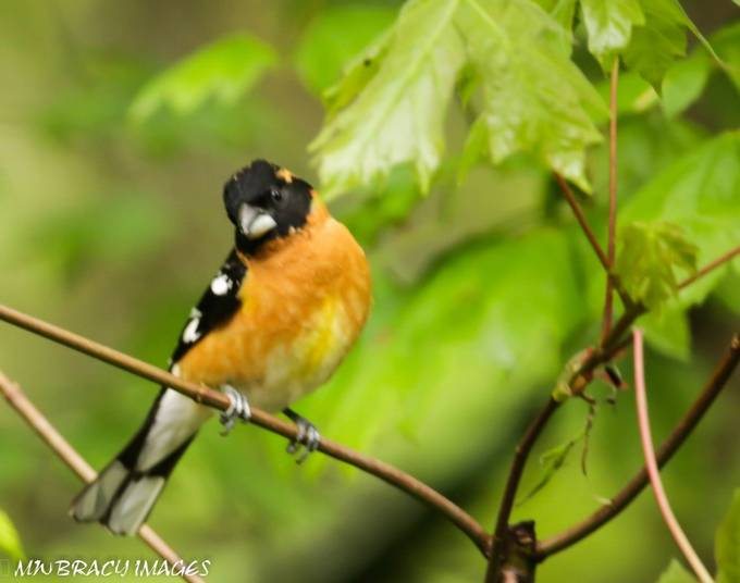 Spotted Towhee winking