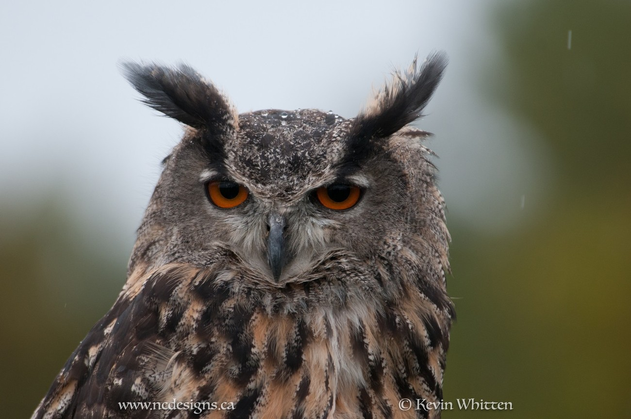 Great Horned Owl showing his displeasure at being rained on. This owl was at a re-rehabilitation center and was released into the wild I'm told.