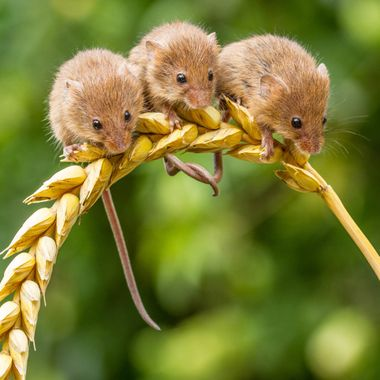 harvestmouse,mice,rodent,nature,garrychisholm,