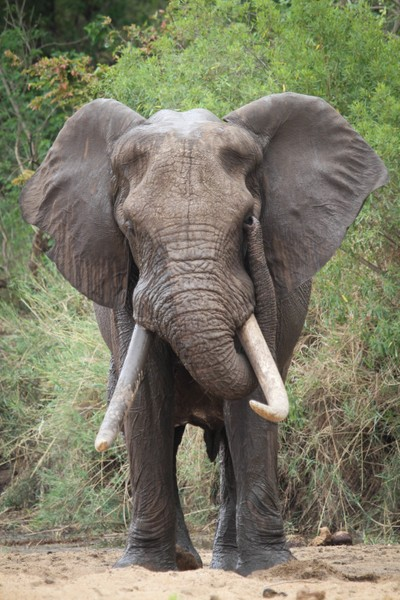 Tusker with grit in its eye.
