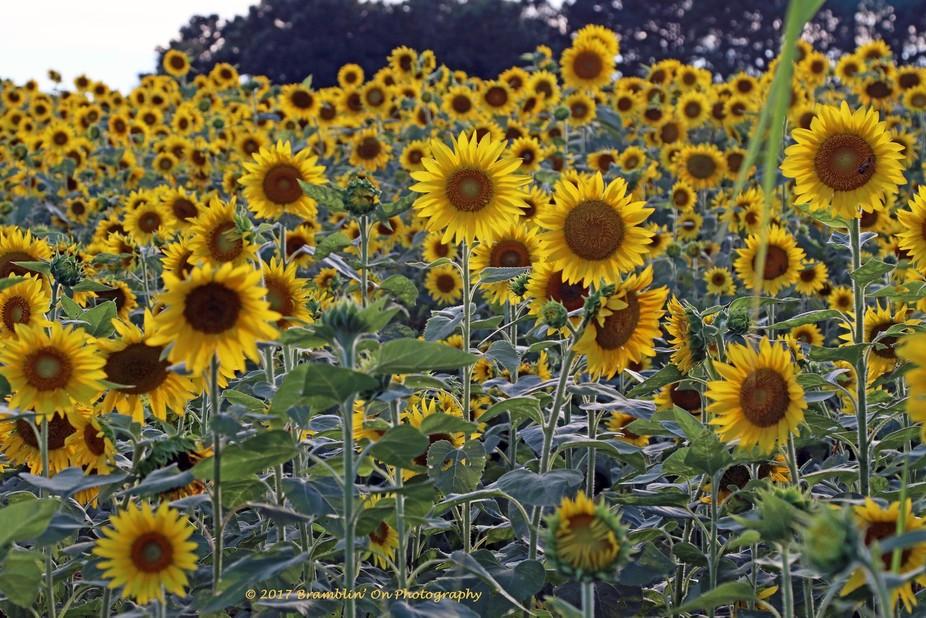 A beautiful sunflower field in Good Hope, GA.