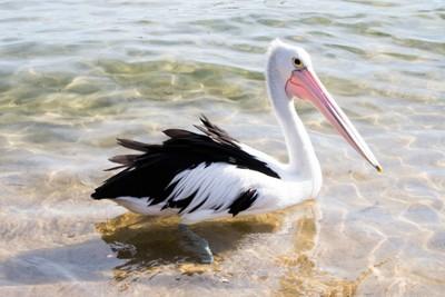 Elegant Pelican