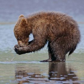 Alaskan coastal bear yearling practicing clamming in Lake Clark National Park and Preserve.