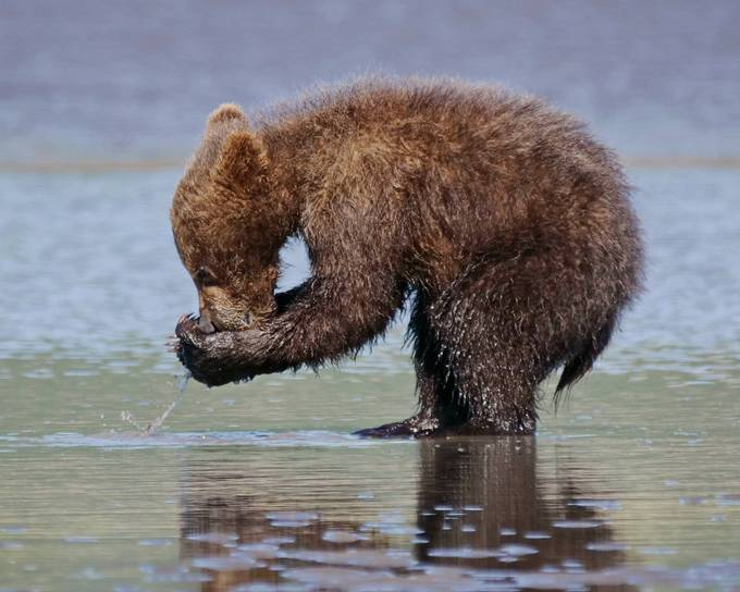 Clamming upright by ccpence - Bears Photo Contest