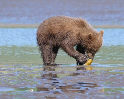 The bear and the clam