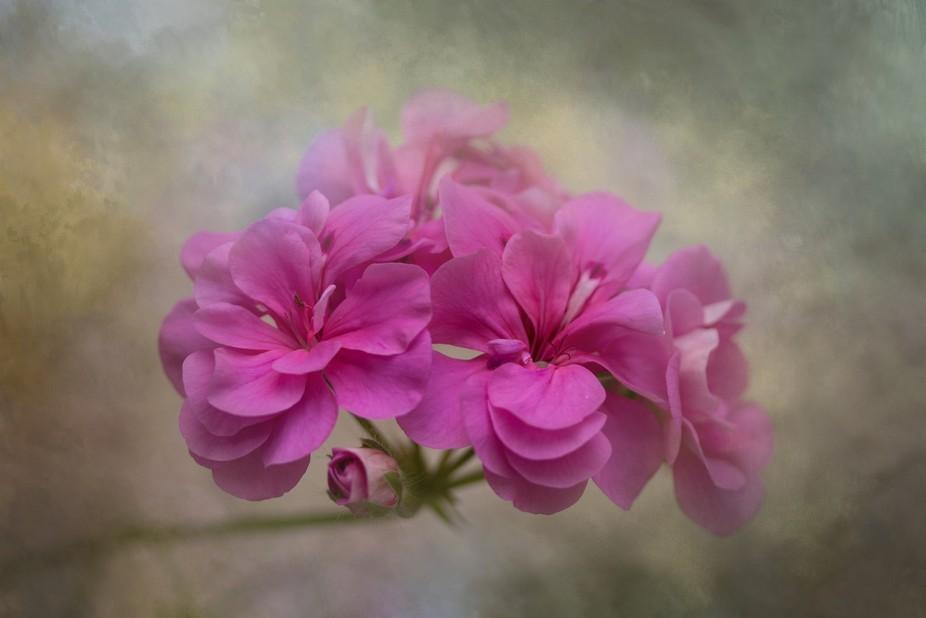 A pink Geranium