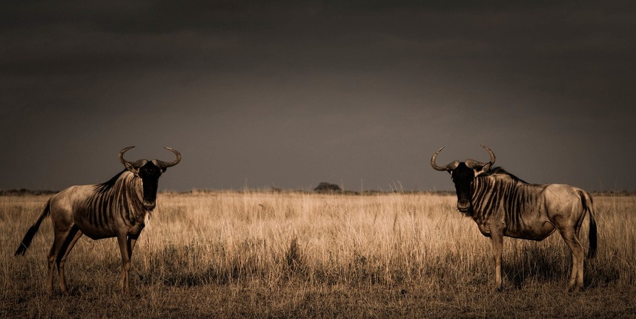 Symmetry like this is rare. I was lucky enough to be able to take this shot of these two wildebee...