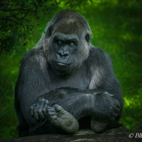 Grownup gorilla at Bronx Zoo, Bronx, New York, June 2017.