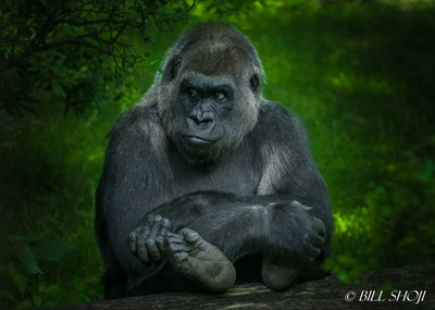 Portrait of a grownup gorilla