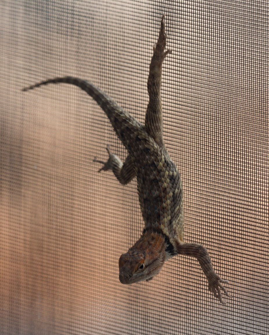 A horned toad (actually it's a lizard but that's what it's called) hanging on our screen door.