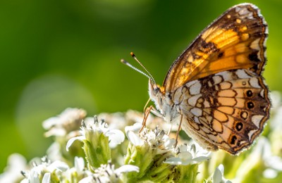butterfly brown closeup2