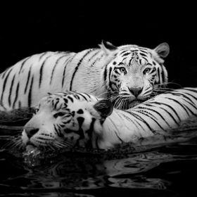 White Bengal tigers are distinctive due to the color of their fur.   The white fur is caused by a lack of the a pigment, which is found in orange...
