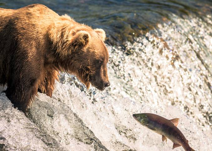 Katmai bear fishing by kbhasker - Animals And Water Photo Contest