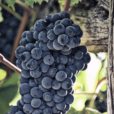 Harvest date for these Tannat grapes in the Texas Hill Country, at William Chris Vineyards - Hye, TX