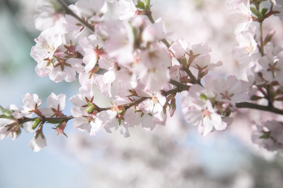 The soft unfocused foreground and background draws the eye to the pink and white blooms of the tree.