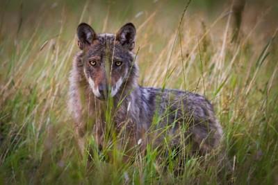 A Wolf Soul