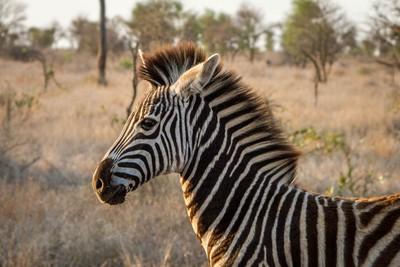 Zebra foal!