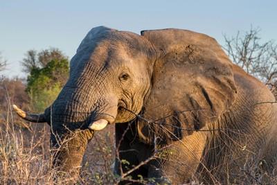 Bull elephant!