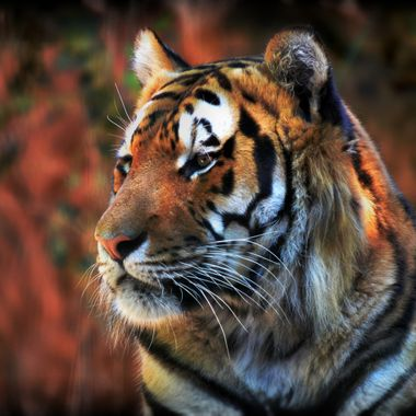 Tiger done in HDR and other effects.