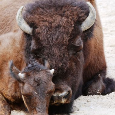 Buffalo and it's offspring at the Zoo in Hannover Germany.