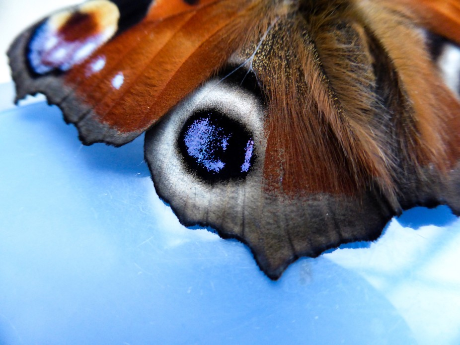 The 'eyes' on the wings are designed to scare off any predators. The underside ...