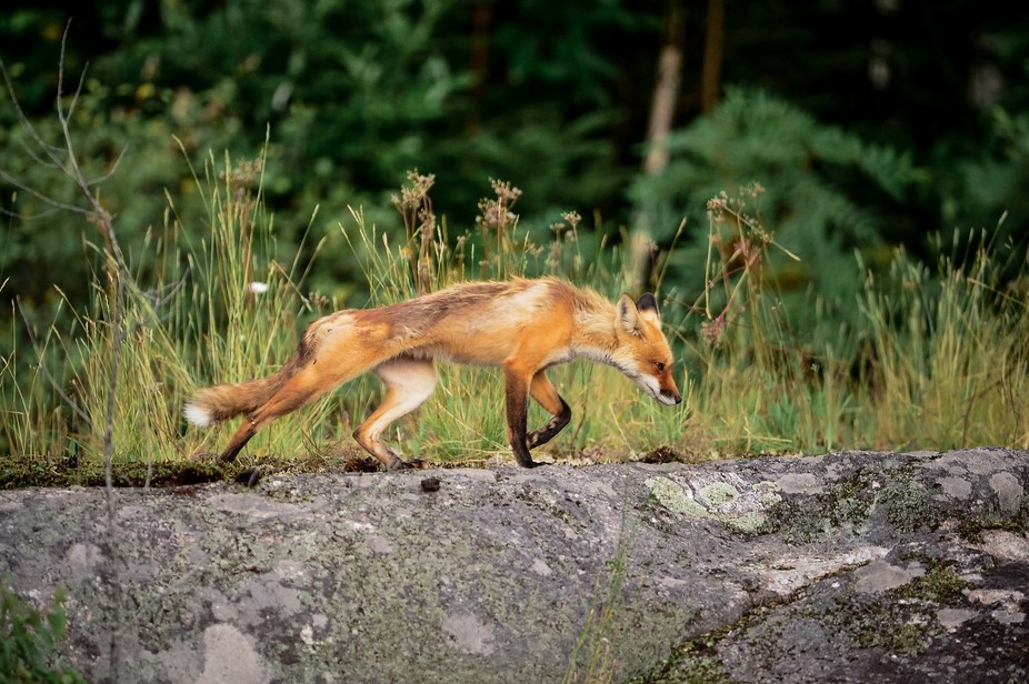 A Red Fox on the move in Chapleau, Ontario.