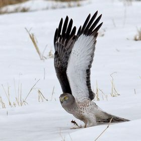 Winter scene in Vermont-Northern Harrier