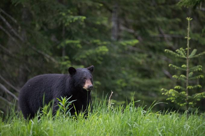 Wild Black Bear in Whistler by marceloklais - Bears Photo Contest