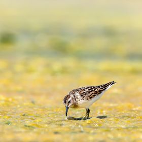 Munchkin in the Muck ???? This Least Sandpiper was cooperating (AKA foraging as usual) while I was trying not to get sucked into depths of hell. ...