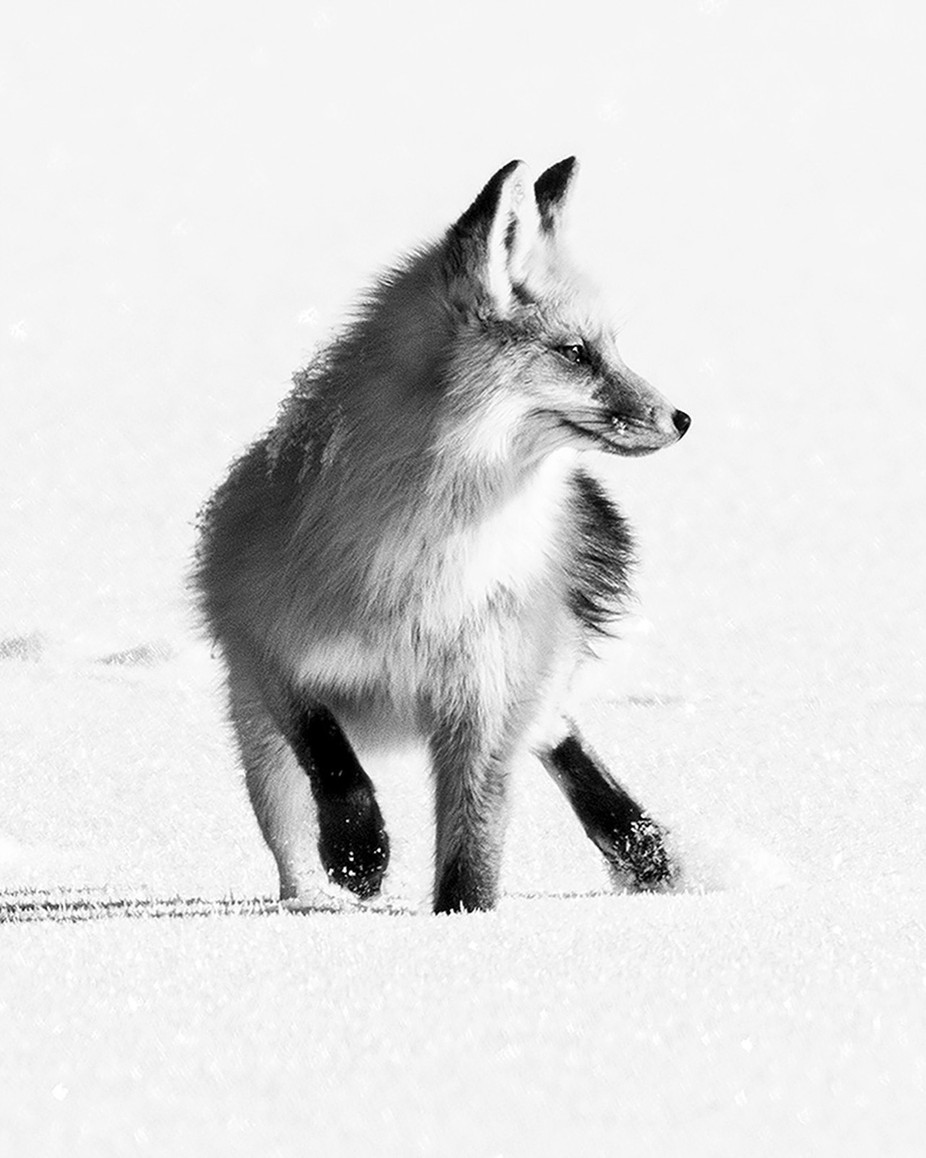 Red Fox by SunBear22222 - Winter In Black And White Photo Contest