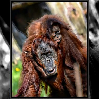 Mummy and baby Orangutan.